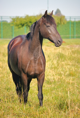 A horse with recent signs of surgery on its neck and chest is healing well. Stock fotó