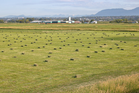 Acres of baled hay dry in the fields found in Richmond on Canadas west coast.