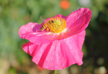 Close profile on a yellow wasp pollinating a pink wild flower in the bright sunshine.