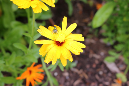 A common housefly rests on a bright, yellow daisy.