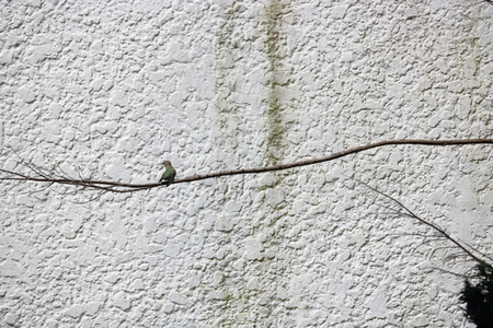 The size of an adult hummingbird is emphasized as it sits perched on a long, narrow tree branch set against a stucco wall.