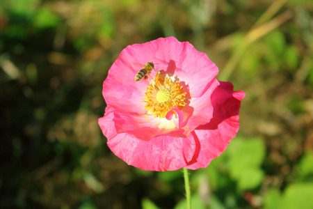 approaches: A wasp casts a shadow as it approaches a bright, pink poppy.