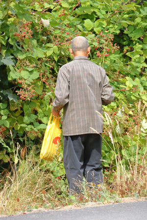 A senior man is actively picking wild blackberries by the side of a path.