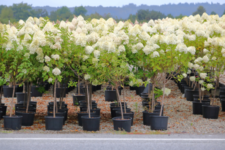A group of white Hydrangeas in their own small pots.