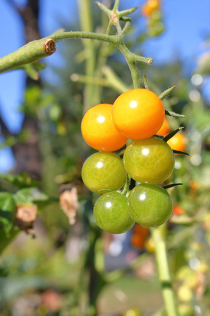A geometric cluster of small tomatoes in a sunny garden ripening on a vine.