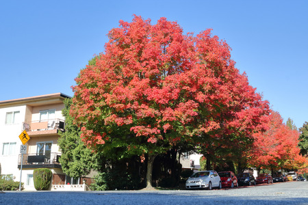 Dark, crimson red Maple trees line the streets during the late Fall months. Stock Photo