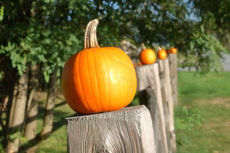 Small orange pumpkins are lined up neatly in a row on top of fence posts. Stock Photo