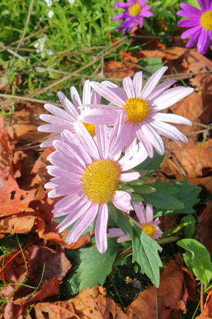 A vertical view of a small cluster of purple daisies with a large, yellow stigma growing in the wild.