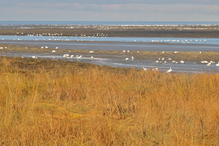 Snow Geese, on their annual migration, stop to rest by the mouth of the Fraser River on the southwest corner of British Columbia, Canada.