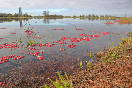 Wide on a cranberry field after being flooded to allow the red berries to rise to the top for harvesting. Stock Photo