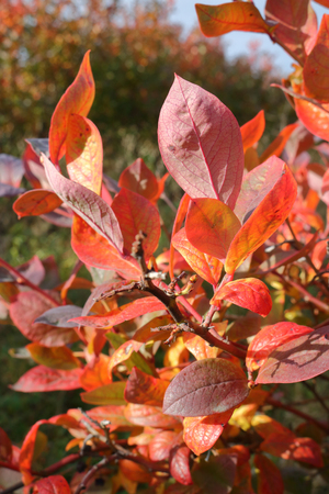 Close on crimson red Highbush Cranberry leaves and branch during the late autumn season after harvesting.