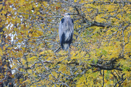 An adult Blue Heron is perched in the trees. Its colors blending in with the branches. Stock Photo