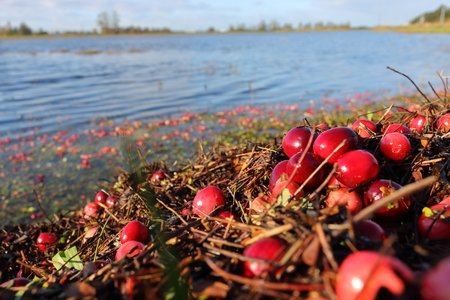 Bright red cranberries lay by the side of a flooded field waiting to be harvested.