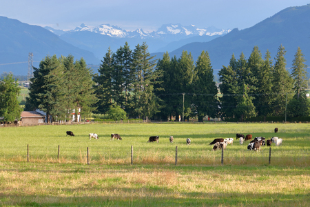 Wide view of a snow capped mountain pasture where Hereford dairy cows graze in a pasture during the summer months.