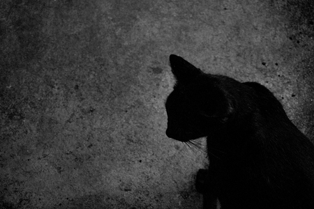 lviv: cat in black and white halloween