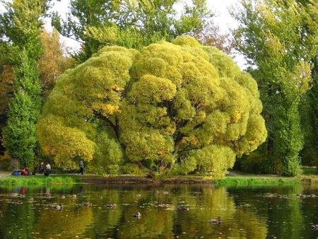 Old branchy tree at a pond photo