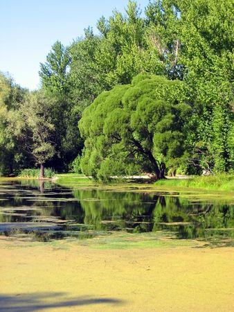 branchy: Old branchy tree near the pond