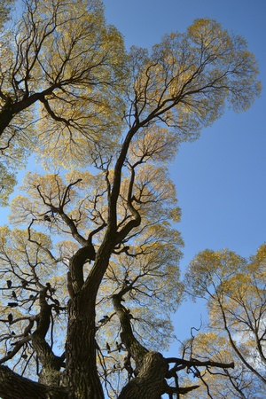 branchy: Beautiful tall branchy old tree in autumn with birds