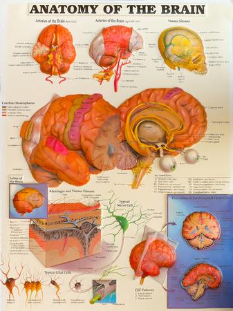brainy: Colorful illustration detailed anatomy of human brain.