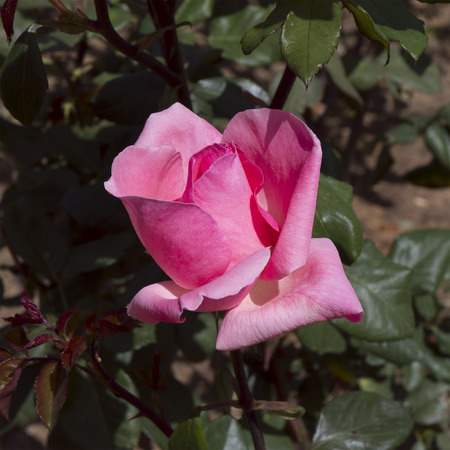 A beautiful pink rose on a rose bush. Zdjęcie Seryjne