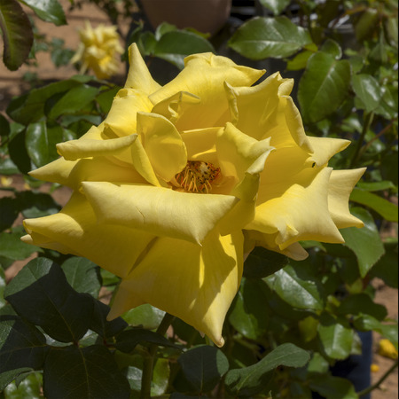 Close up view of a beautiful yellow rose on the bush.