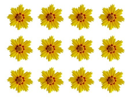 Coreopsis  flowers pattern, isolated   background