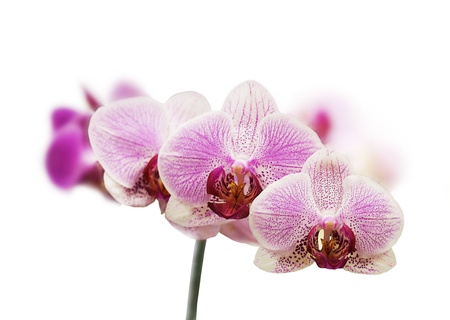 Purple orchid flower on a white isolated background