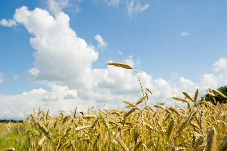 Corn fields on a sommerday Stock Photo - 10121534
