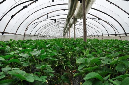 horizontal format horizontal: Strawberry in greenhouse Stock Photo