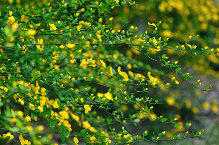 horizontal format horizontal: Kerria japonica flowers Stock Photo