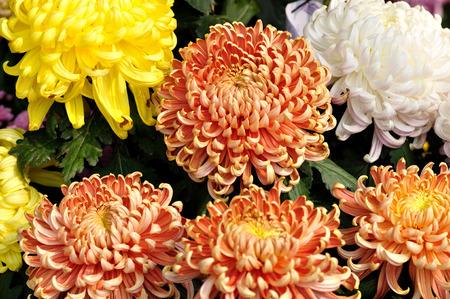 horizontal format horizontal: Chrysanthemum