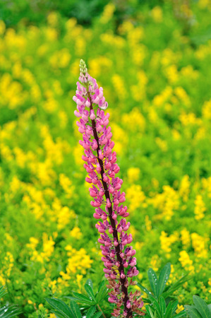 lupine: Lupine flower Stock Photo