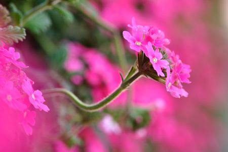 hybrida: Verbena hybrida