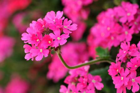 lamiales: Verbena hybrida