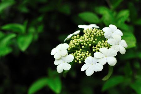 jade plant: Jade flower