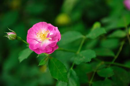 rosa: Rosa multiflora