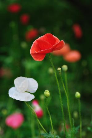 oriental poppy: Corn poppy