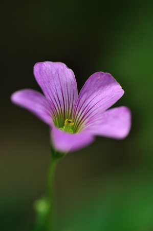 corymbosa: Red sorrel, alias flowers, clover, night, big-leaf oxalis, three clips Lotus, oxalis corymbosa.