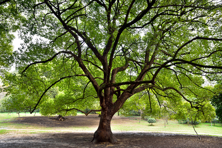 cinnamomum: Fang Zhang Tree