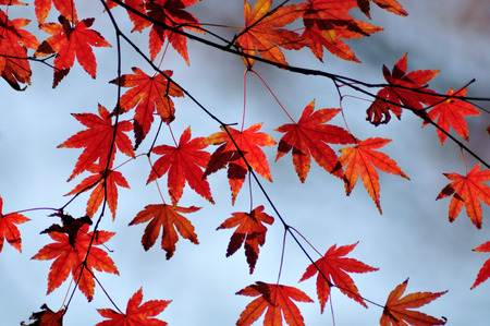 horizontal format horizontal: Red Maple