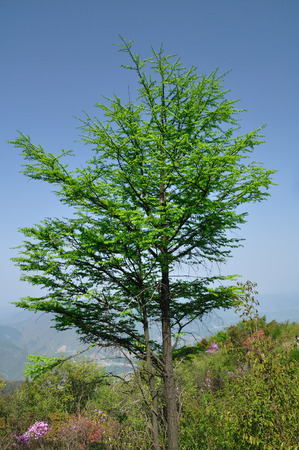 metasequoia: Metasequoia glyptostroboides Stock Photo