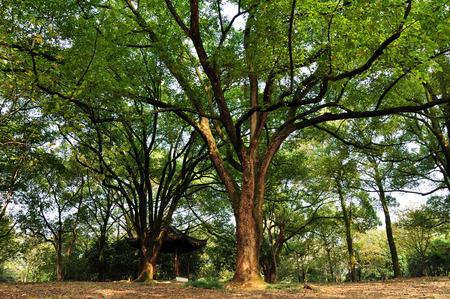 rui: Camphor tree