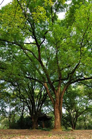 cinnamomum: Camphor tree