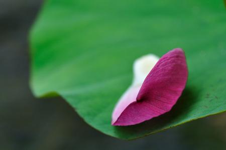 horizontal format horizontal: Lotus petal