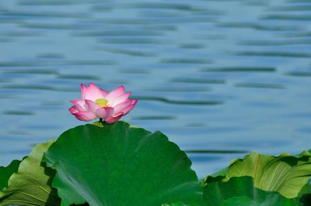 horizontal format horizontal: Lotus flower Stock Photo