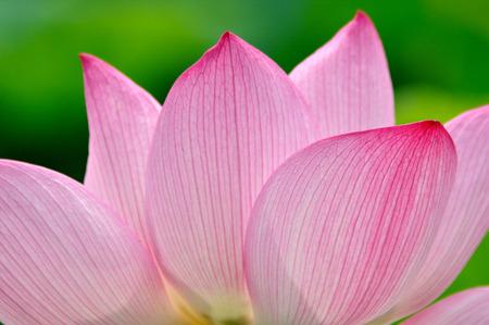 lotus flowers: Lotus flower Stock Photo