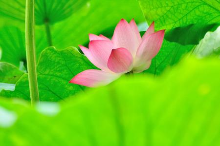 horizontal format horizontal: Lotus