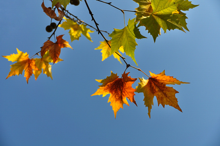 sycamore leaf: The autumn leaves