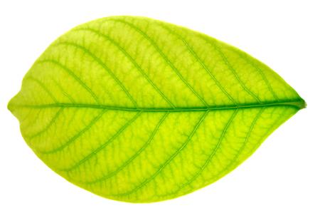 horizontal format horizontal: A leaf Stock Photo