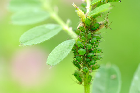 horizontal format horizontal: A group of aphids Stock Photo